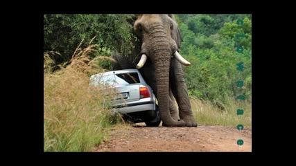 slon napada avtomobil
