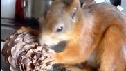 Катеричката Ноби тайно отмъква орехи и шишарки