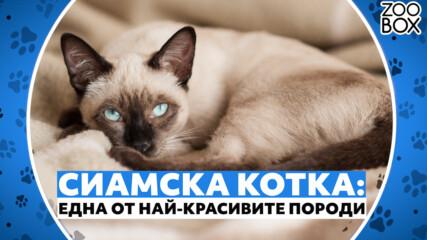 Сиамска котка: една от най-красивите породи котки