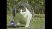 Най - Дебелата Котка в света