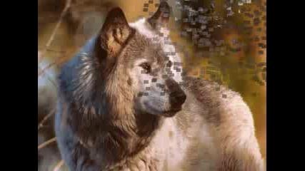 Красиви снимки на вълци