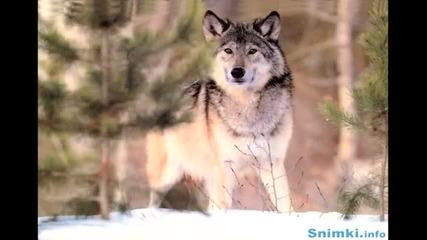 Одинокий волк /превод/