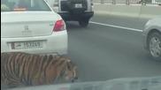 Тигър изскочи на пътя в Катар