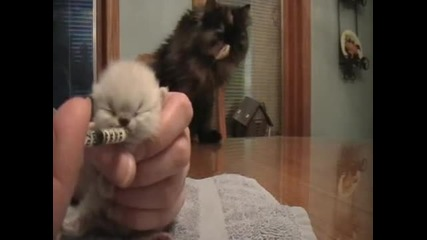 Cutest Baby Himalayan Kitten