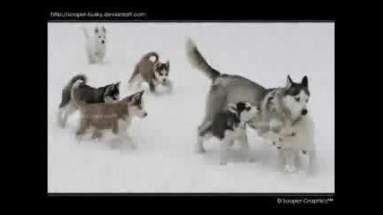 Siberian Huskies (:
