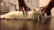Умна котка познава под коя чашка се крие топчето