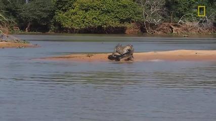 Ягуар атакува крокодил