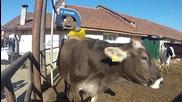 Крава на масаж