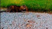 Коте си играе с бебе бурундуче
