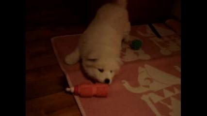 Misty - 45 day's old Samoyed puppy