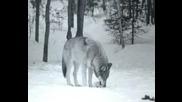 Bate Pe6o I Tina - Wolf