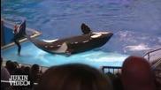 И най-добрите правят грешки - Whale Tail Fail - Shamu Trainer Falls
