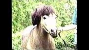 Шотландско Пони - Порода Коне