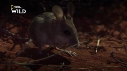 Северната скачаща мишка