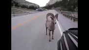 Упорито животно е овена - смях