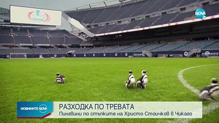Пингвини се разходиха по тревата на популярен стадион в Чикаго