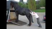 Lustig_ Verladen eines Shire Horse Pferd in 30 Sekunden - Clydesdale_ Funny loading on a trailer
