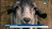 Брадат козел напада рибари край река Златна Панега