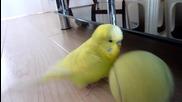 Сладур - Папагалче балансира