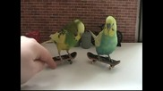 Как да обучим папагалчето да се кара скейтборд - Курс за начинаещи
