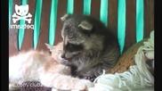Нахален енот тормози спяща котка ! Смях