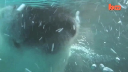 На басейн с полярна мечка