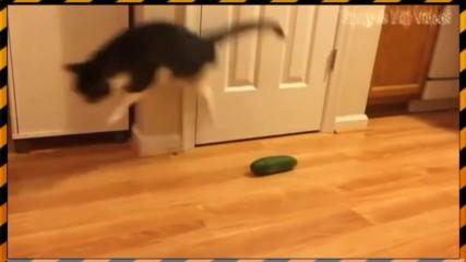 Котки се стряскат от краставици (Смях)