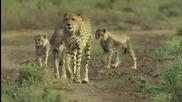 Светкавично бърз гепард..