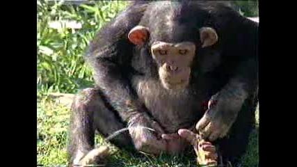 maimuna si pikae v ustata