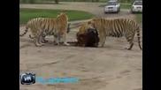 Тигри Нападат Теле