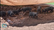 Piglet Found Alive in Ohio Wreckage Taken to Animal Sanctuary