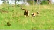 Голямото семейство котки - Лъв, Тигър и Леопард ..
