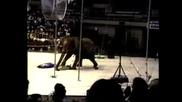 Цирков слон внезапно полудява и напада цирковите артисти