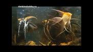Екзотични рибки. Скалярия. Видове, отглеждане и развъждане .