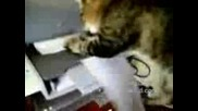 Котка Принтира