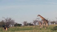 Жираф защитава детето си от лъвове