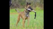 Белгийска овчарка - най - доброто куче в света