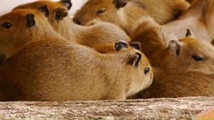 11 бебета Капибари