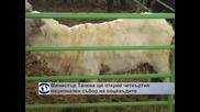Министър Танева ще открие четвъртия национален събор на овцевъдите
