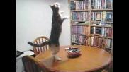 Коте Танцува техно
