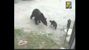 Коте пази къщата от мечка