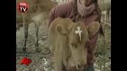 Kriste v rodena krave