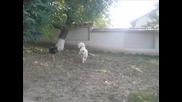 Кавказка овчарка (bela)