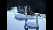 Чайковски - Лебедово езеро