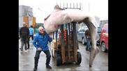 Световен Рекорд най - голямата риба в света уловена с въдица