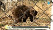 СПАСЕНА: Оперираха успешно мечка, страдаща от глаукома