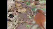Colobus monkey medicine - Bbc