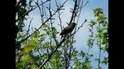 Природа В Найтингейл-песен на славей