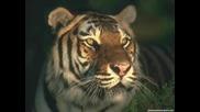 Яки Снимки На Тигри направено специално за tigar53