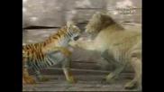 Animal Face - Off - Lion Vs Tiger